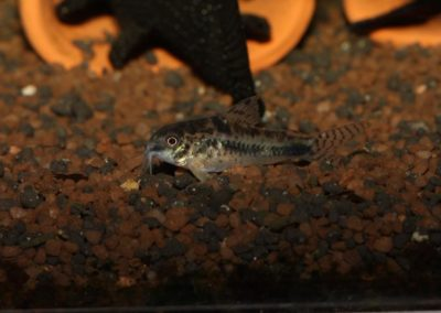 Marmorierter Zwergpanzerwels, Corydoras habrosus