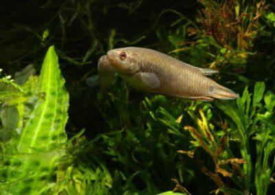 Schwarzer Spitzschwanzmakropode, Pseudosphromenus cupanus