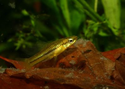 Zwergschwertträger, Xiphophorus pygmaeus