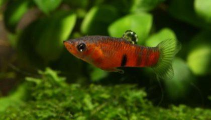 Micropoecilia picta Männchen