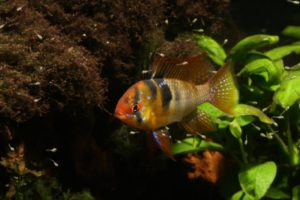 schmetterlingsbuntbarsch maennchen jungfische 1
