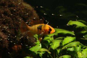schmetterlingsbuntbarsch weibchen jungfische 2