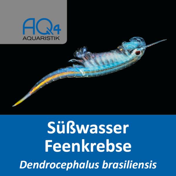 Brasilianische Feenkrebse Dendrocephalus brasiliensis