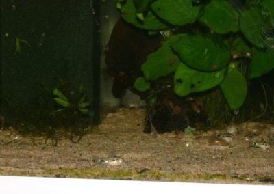 Aquarium mit Welsen