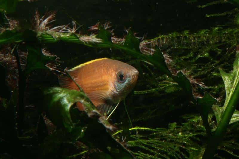 Honiggurami, Trichogaster chuna