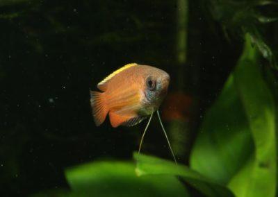 Honiggurami Männchen, Trichogaster chuna