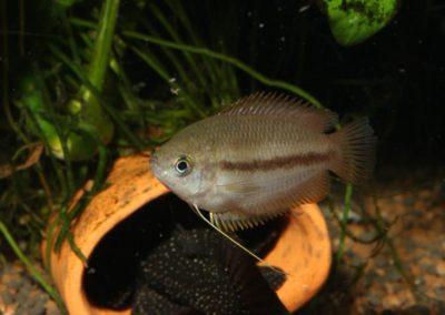 Honiggurami Weibchen, Trichogaster chuna
