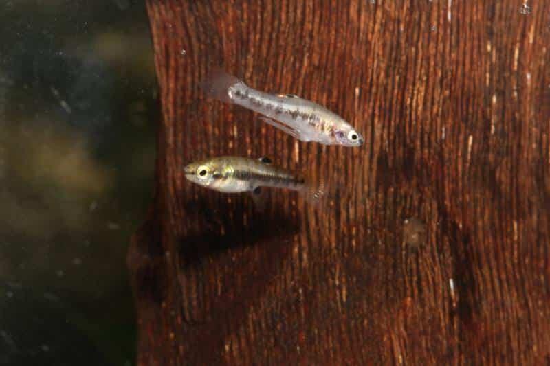 Zwergkärpfling, Heterandria formosa
