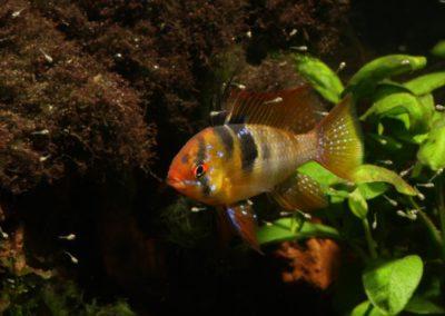 Männchen vom Schmetterlingsbuntbarsch, Mikrogeophagus ramirezi führt Jungfische