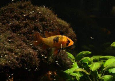 Weibchen vom Schmetterlingsbuntbarsch, Mikrogeophagus ramirezi führt Jungfische