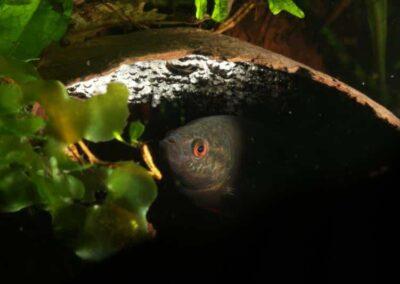 Eier vom Schwarzen Spitzschwanzmakropoden sind weiß