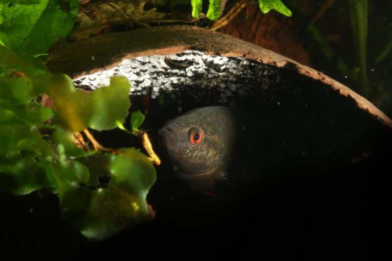 schwarze spitzschwanzmakropode maennchen
