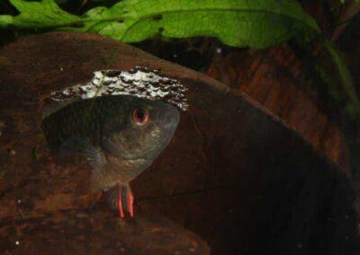 Schwarzer Spitzschwanzmakropode mit Nest in Kokosnuss