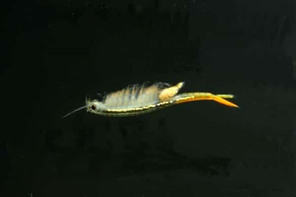 Branchinella thailandensis Weibchen