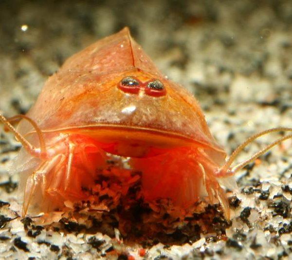 Triops cancriformis beni kabuto ebi