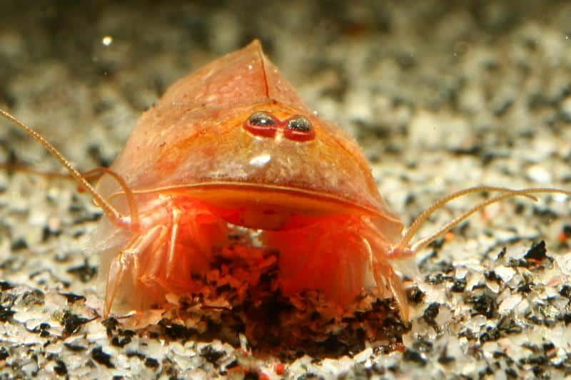 Triops cancriformis rot (var. Beni Kabuto Ebi)