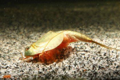 Triops longicaudatus Weibchen