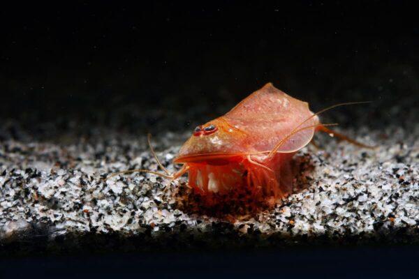 Triops cancriformis var Beni Kabuto Ebi