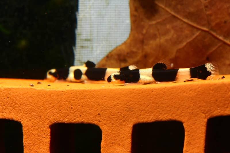 2952 Panda Bergbachschmerle Yaoshania pachychilus