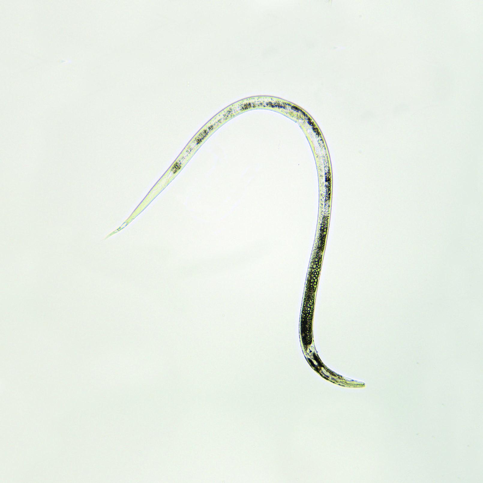 essigaelchen