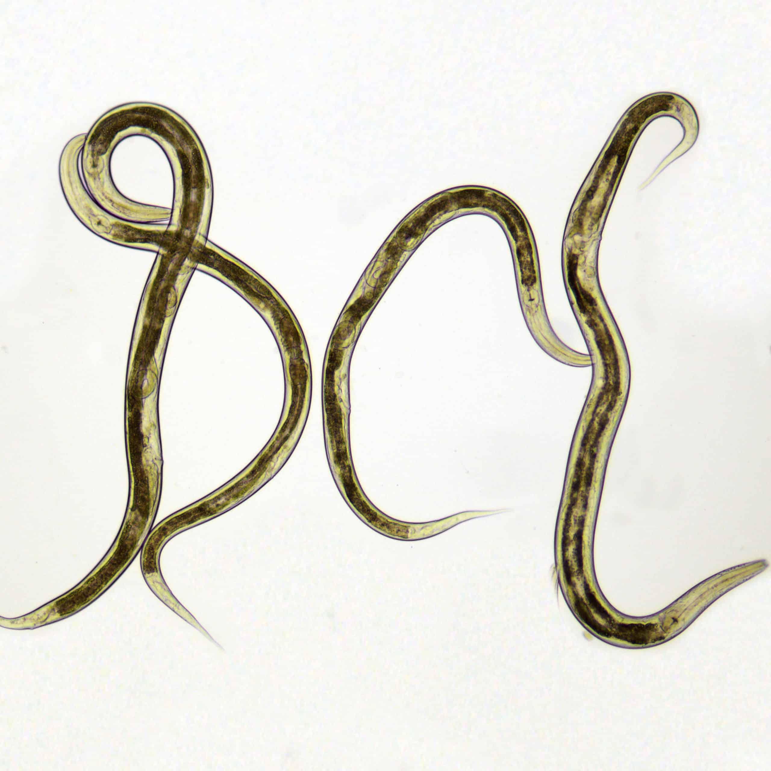 Mikrowürmer
