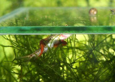 Beim Ablaichen umschlingt das Männchen das Weibchen
