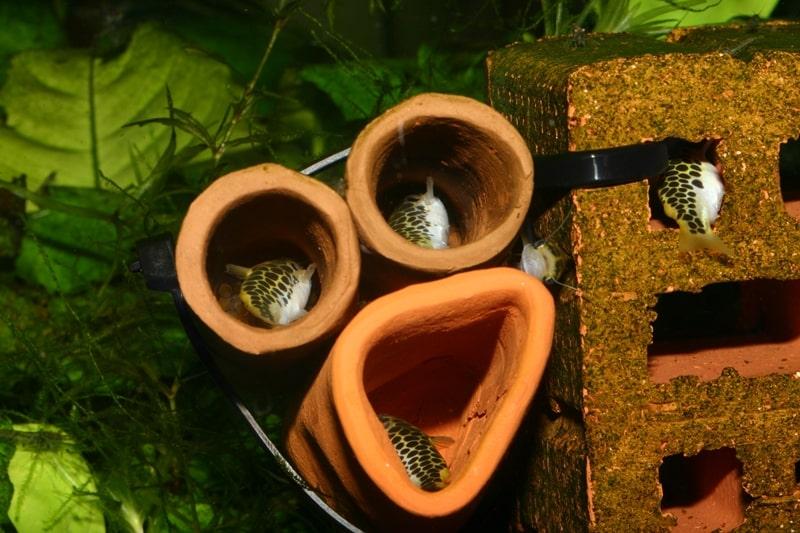 Weibchen in Laichhöhle mit Eiern