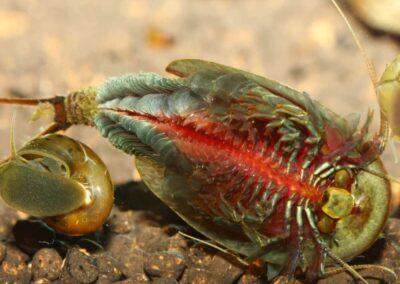 Triops cancriformis – Europäischer Sommerschildkrebs