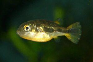 Carinotetraodon travancoricus Männchen