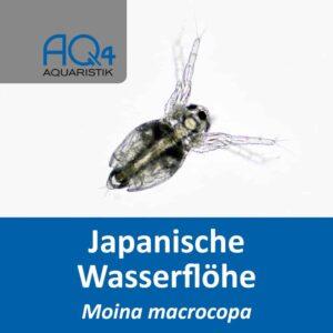 Moina macrocopa