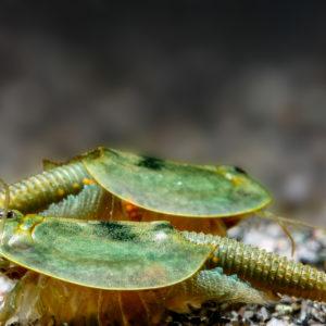 Triops australensis grün