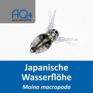 Moina macropoda