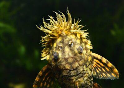 Kopfstudie eines Männchens Ancistrus sp. (L 309)