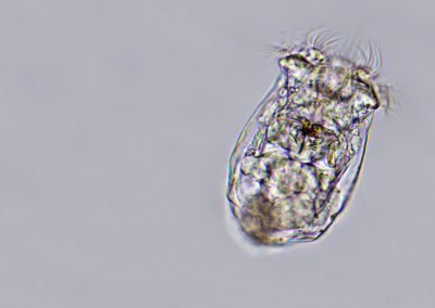 Süßwasser Rädertierchen – Brachionus calyciflorus