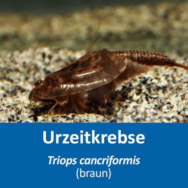 Triops cancriformis (braun)