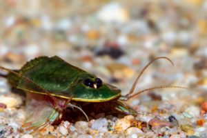 "Triops sp. ""Gonochoric"""