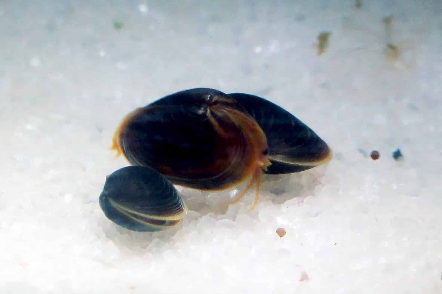 Cyzicus sp. Schwarzer Muschelschaler
