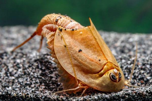 Triops-longicaudatus-rot-2