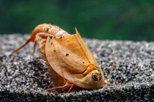 Triops longicaudatus rot