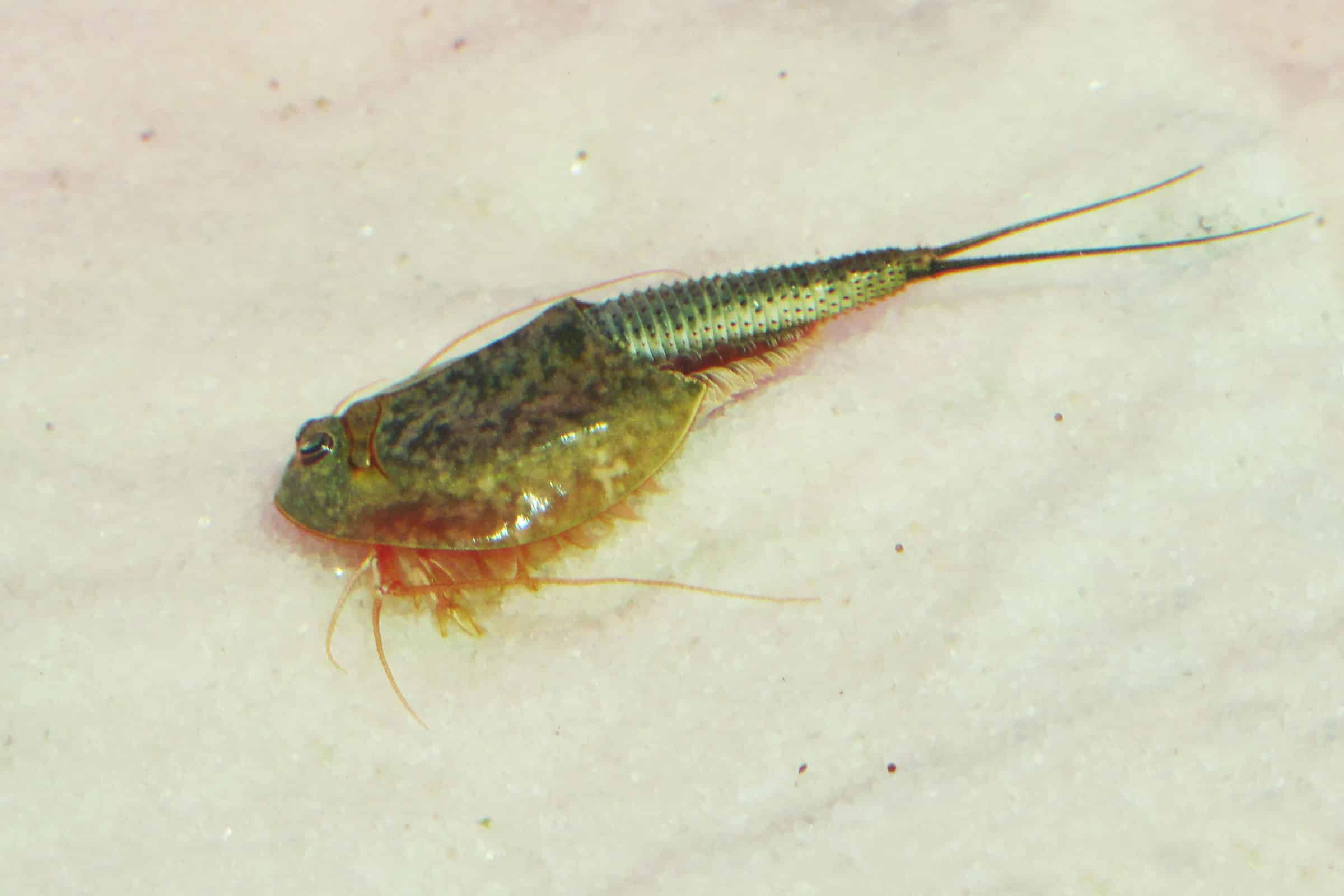 Triops newsberryi