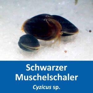 schwarzer Muschelschaler Cyzicus sp.