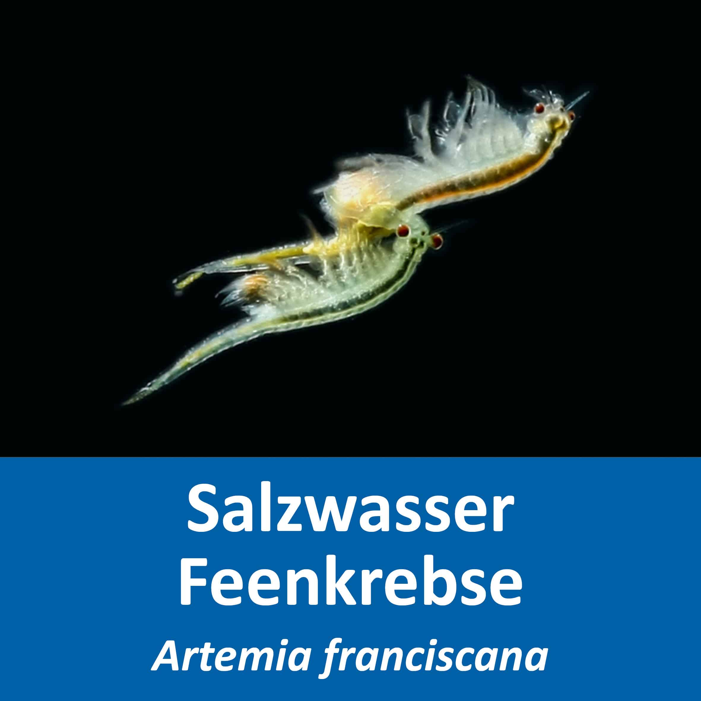 Artemia franciscana