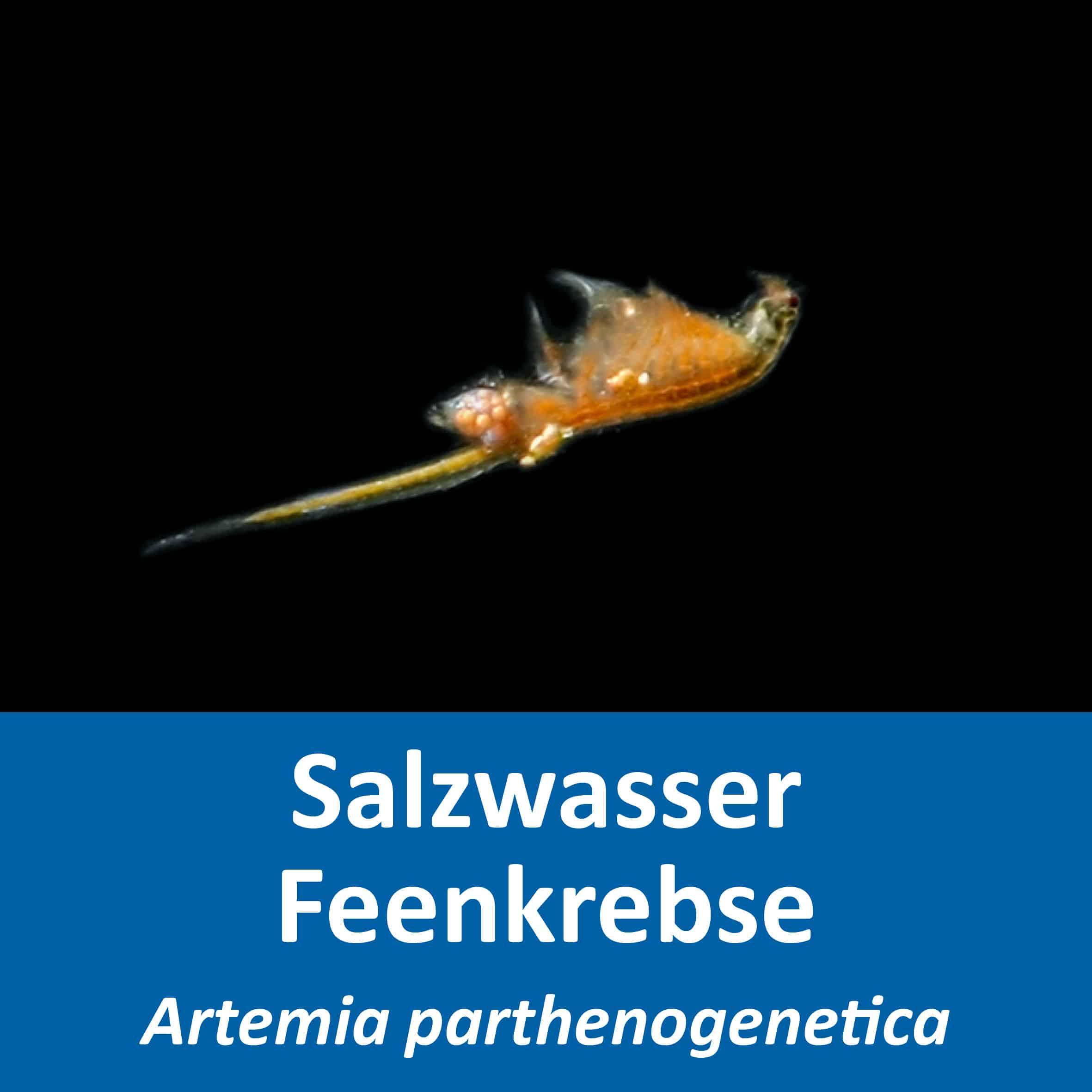 Artemia parthenogenetica