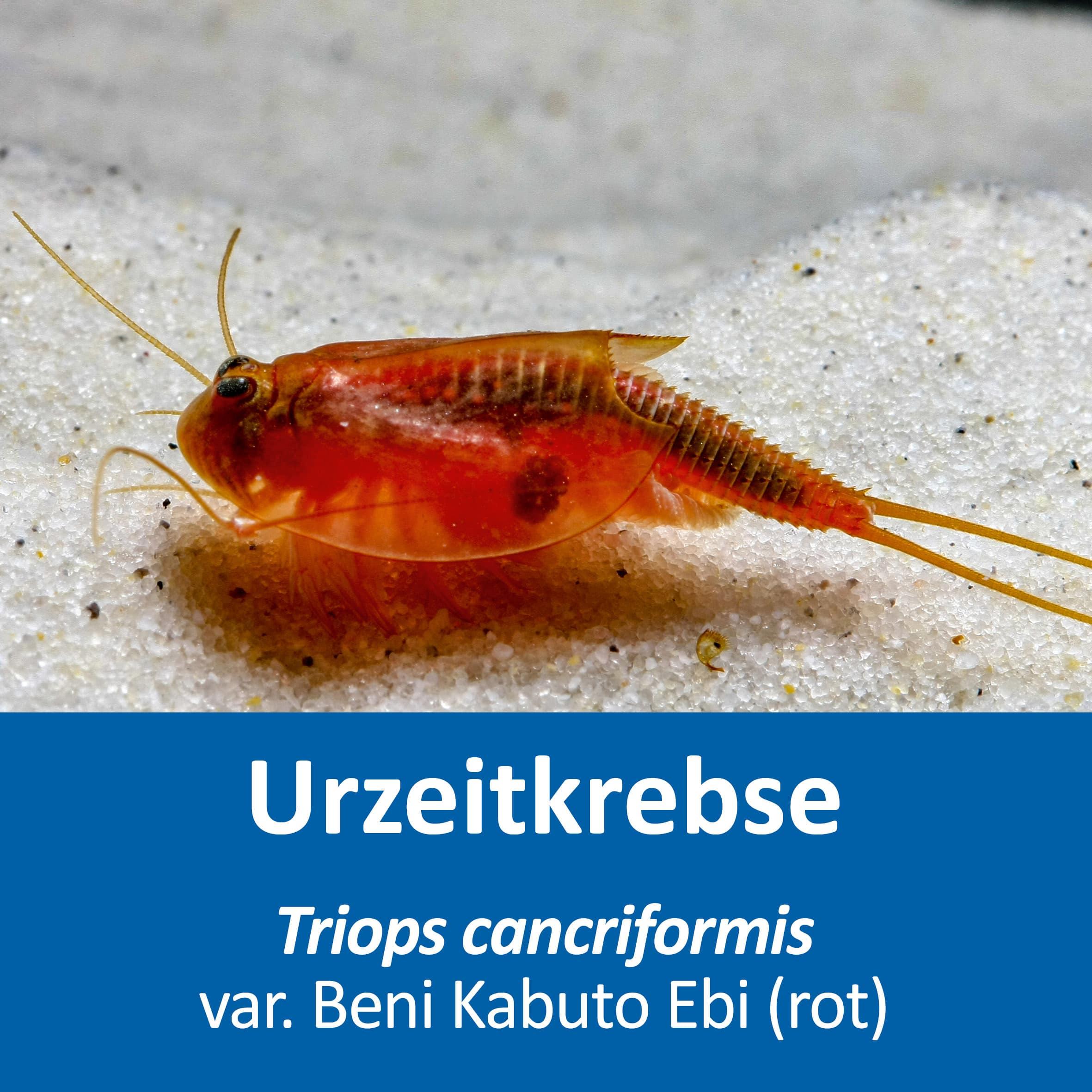 Triops cancriformis var. Beni Kabuto Ebi (rot)