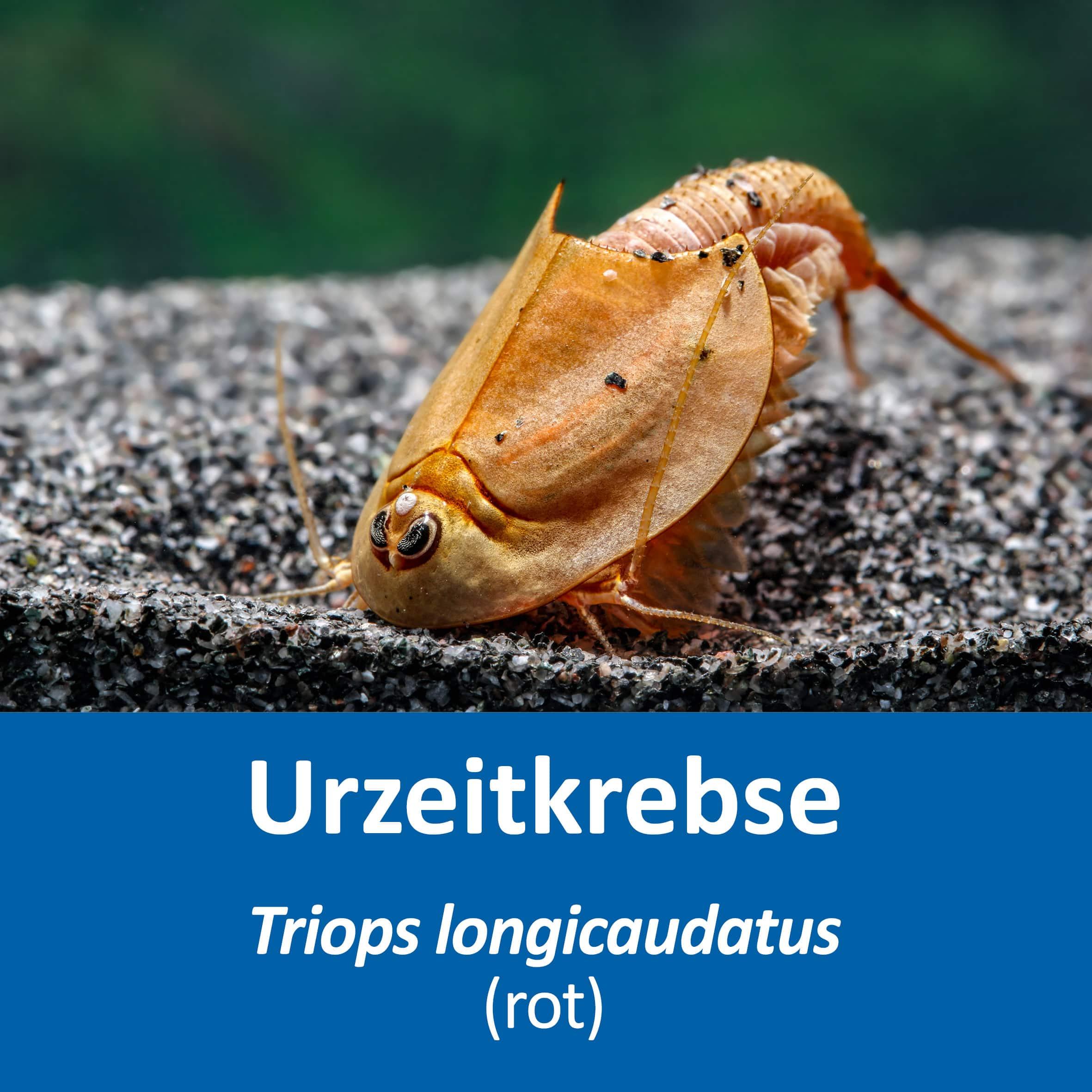 Triops longicaudatus (rot)