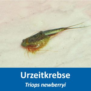 Triops newberry