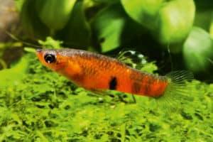 Männchen Pfauenaugenkärpfling Micropoecilia picta