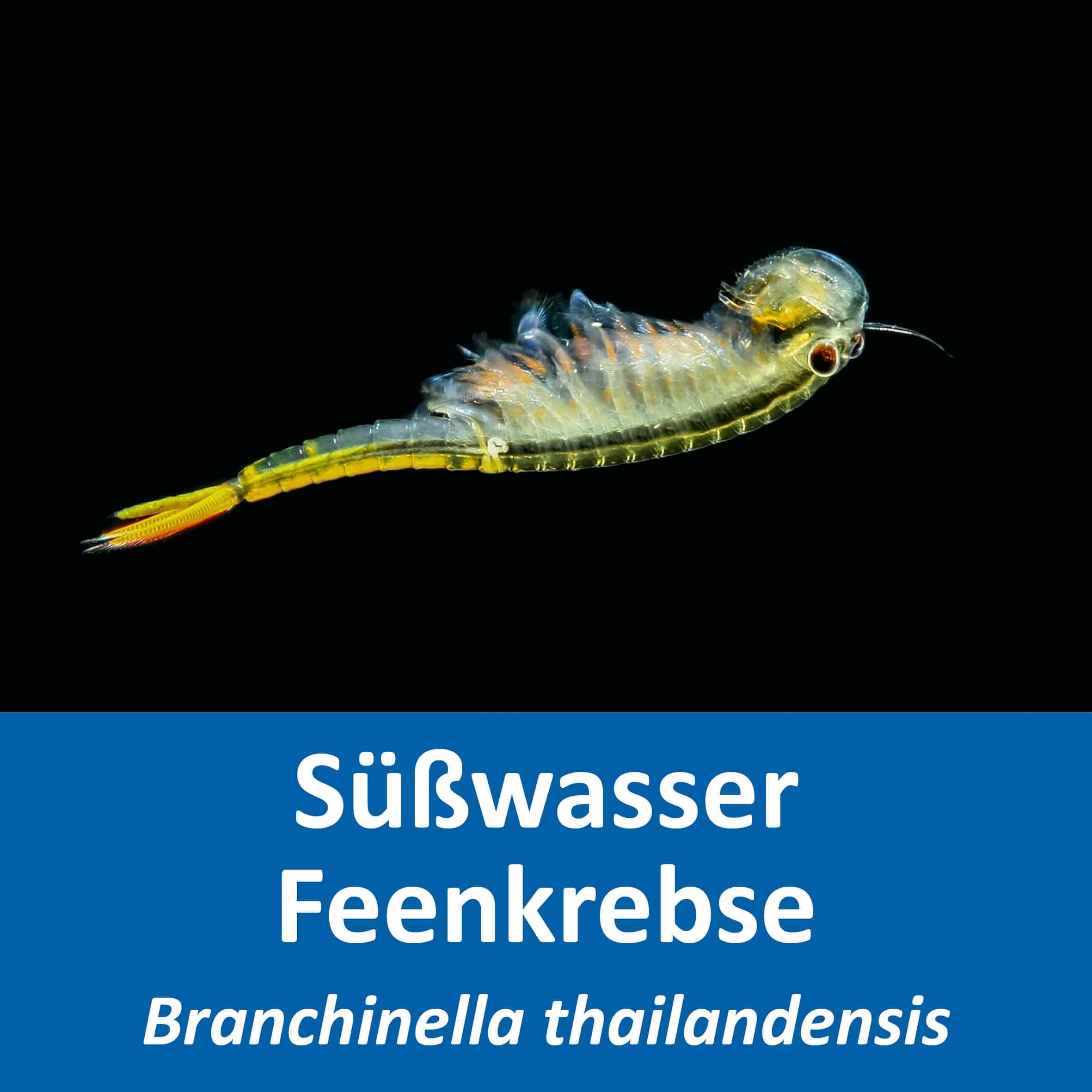 Branchinella thailandensis
