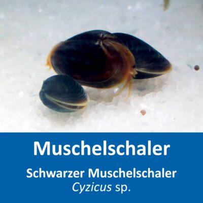 Schwarzer Muschelschaler – Cyzicus sp. – mit Anleitung