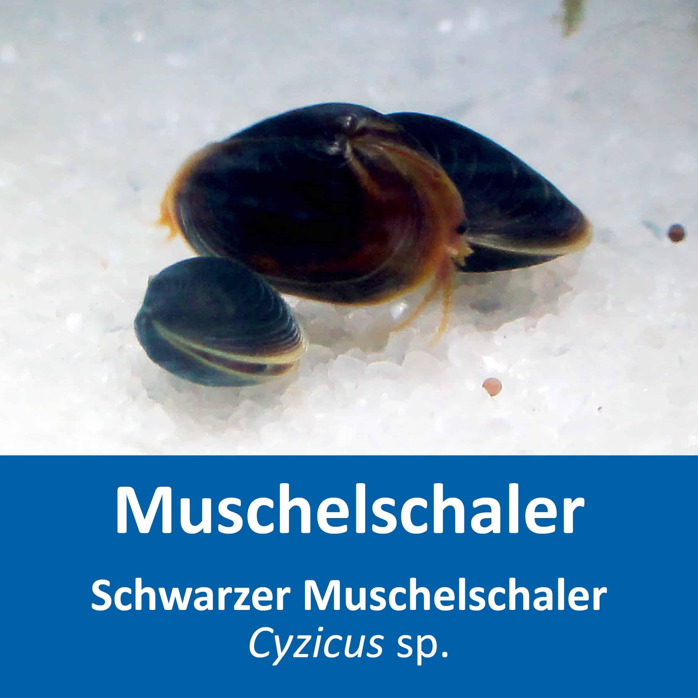 Cyzicus sp